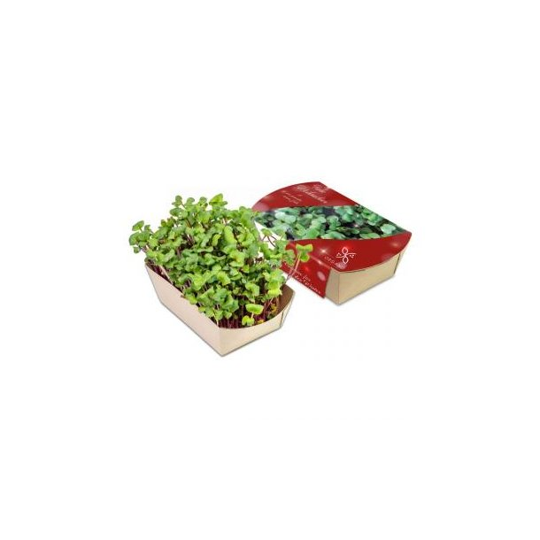 Microgreens-Gärtchen - Rettich China Rose