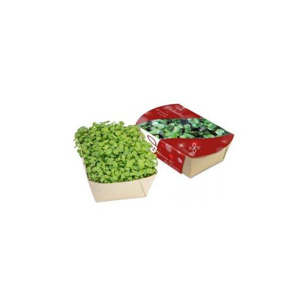Microgreens-Gärtchen - Salatrauke